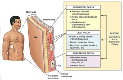 What is Fascia and Why is it Important?