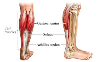The Most Important Muscle You've Probably Never Heard Of…Part 1 – The Soleus