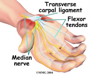 Carpal Ligament, Flexor Tendons, Median Nerve