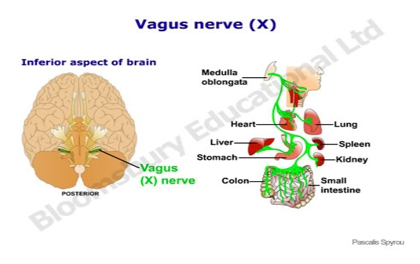 The Vagus nerve is affected by 85% of births - Pro Chiro Bozeman, MT