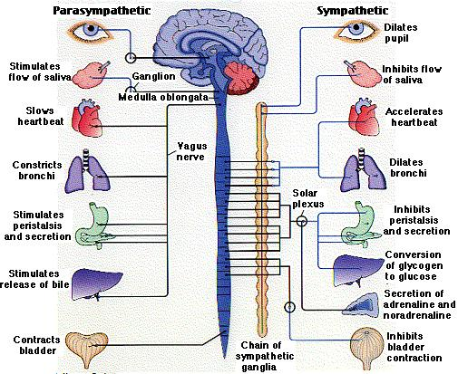 Vagas Nerve Connection